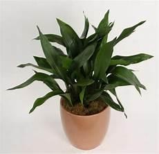 Welche Zimmerpflanzen Brauchen Wenig Licht - welche zimmerpflanzen brauchen wenig licht