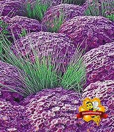 steingarten gräser winterhart kugelaster violett ziergras azurit 174 garten