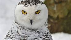 Winter Snowy Owl Wallpaper