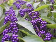 Strauch Mit Lila Beeren - hardy shrub westchester ny gardens