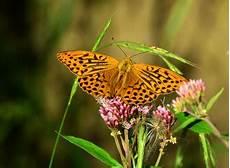 Ausmalbild Schmetterling Pfauenauge Ausmalbild Schmetterling Pfauenauge Malbild