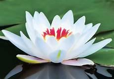 fiore loto il terzo occhio 12 simboli spirituali pi 249 potenti al mondo