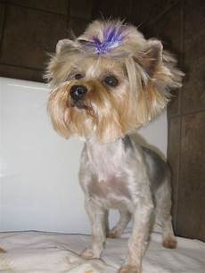 58 best images about shih tzu haircuts pinterest