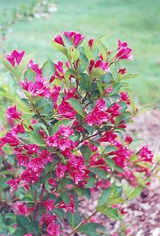 bristol ruby weigela weigela florida bristol ruby in