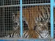 animali in gabbia circo a va p a onlus protezione animali vda
