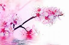 fleur de cerisier dessin fleurs de cerisier en fleurs tatouage fleur de
