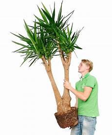 palme umtopfen wurzeln abschneiden yucca palme palmlilie pflege 123zimmerpflanzen