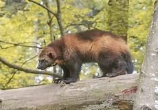 Gambar 12 Hewan Rusia Berbahaya Russia Mungkin Predator