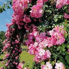 rosier ancien grimpant rosier grimpant ancien american pilar grandiflora