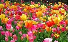 Tulip Image Desktop wallpapers tulips wallpapers