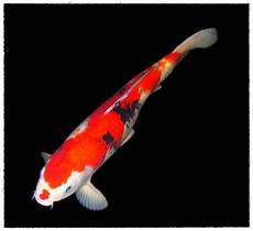 Gambar Ikan Koi Dunia Binatang