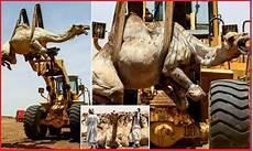 9 Gambar Susana Unta Dijual Di El Molih Omdurman