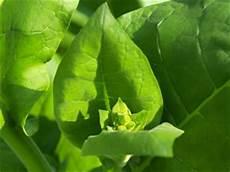 tabak selber anbauen tabakpflanze tabak ziertabak aussaat anbau und pflege