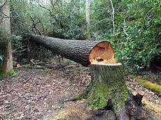 couper un arbre 12261 fallen tree that was cut with a chainsaw stocksy united