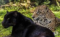 what is a jaguar called is a panther really a jaguar quora