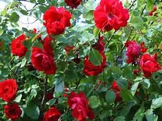 flower ki wallpaper beautifulroses beautiful roses