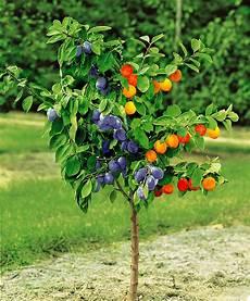 arbre fruitier en pot buy dual apricot plum tree bakker
