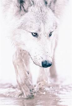 black and white wolf wallpaper iphone free ios parallax wallpapers 187 white wolf