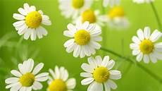White Flowers Hd Images by Wallpaper Chamomile White Flowers Hd Flowers 2482