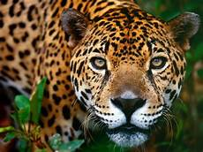 Pic Of Jaguar by Animal Free Wallpapers Animal Jaguar Free Wallpapers