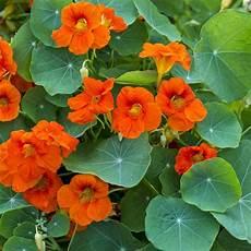 Gro 223 E Kapuzinerkresse Kapuzinerkresse Tropaeolaceae
