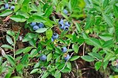 Heidelbeeren Umpflanzen 187 Das Sollten Sie Beachten
