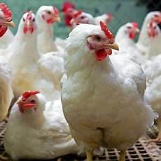 Harga Ayam Broiler Di Indonesia Tahun 2019 Jenis Ternak