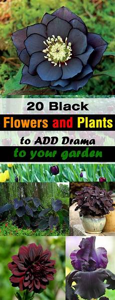 your garden 20 black flowers and plants to add drama to your garden