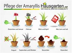 amaryllis pflege anleitung hausgarten net