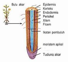 Akar Tumbuhan Struktur Marfologi Anatomi Fungsi Dan