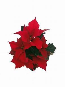 Weihnachtsstern Mini Rot Pflanzenklick