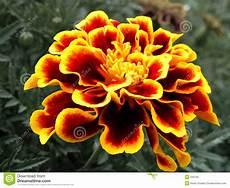tagete fiore tagete striato rosso giallo fotografia stock libera da