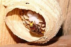 hornissen im rolladenkasten was tun bei einem