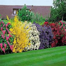 pflanzen für hecke flowering shrubs hedge hardy mix colours bush hedging grow
