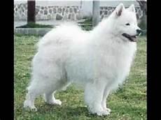 Top 12 De Cachorros Mais Lindos Do Mundo