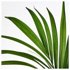 kentia palme braune blätter kentia palme balkon garten gartenarbeit haus garten
