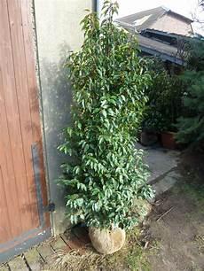 Kirschlorbeer Pflanzen Kaufen - prunus lusitanica angustifolia kaufen