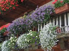 fiori invernali per balconi floricoltura mery estevez balconi fioriti gressoney
