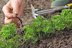 semer et planter le persil avec la lune en 5 233