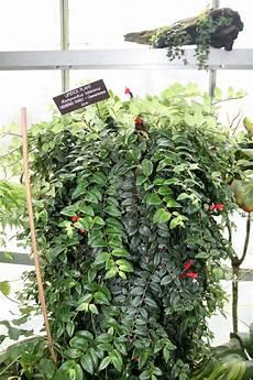 file lipstick plant 198 schynanthus lobbianus 3072500113