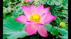 lotus pond at prey veng province beautiful lotus flower