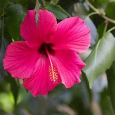 hibiskus pflege die besten tipps brigitte de