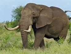 Gambar Gajah Beserta Namanya Kumpulan Gambar Lengkap