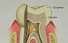 Struktur Gigi Manusia Lengkap Penyakitmu