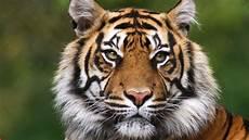 tiger safaris tiger world safaris
