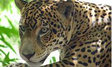 jaguar costa rica information where to see it and photos