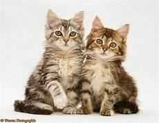 150 Gambar Kucing Lucu Dan Imut Anggora Maine