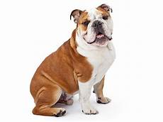 bulldog anglais a vendre acheter un bulldog anglais annonces chiens bulldog