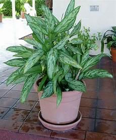 Zimmerpflanzen F 252 R Wenig Licht 25 Gr 252 Ne Und Bl 252 Hende Arten