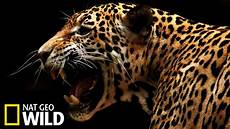 un jaguar attaque un ca 239 man animal fight club youtube